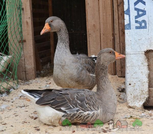 Фото двух гусей возле сарая