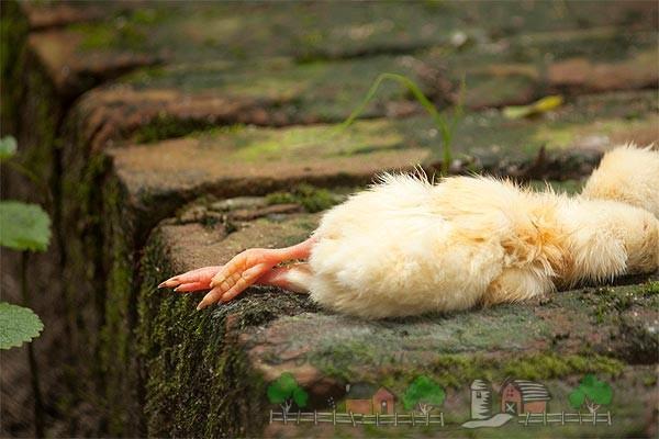 Цыпленок погиб фото