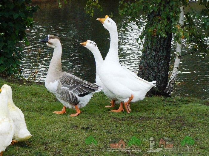 Фото домашних гусей на берегу водоема