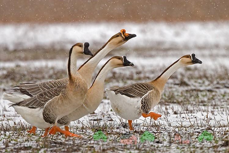 Фото домашних гусей зимой