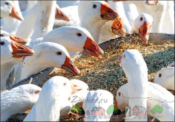 Фото гусей, которые едят зерно с кормушки