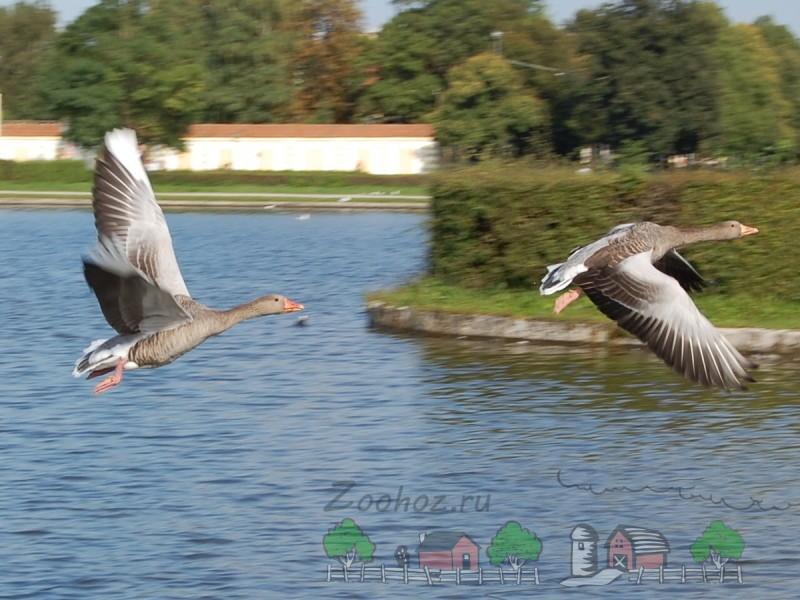 Гуси летят над рекой фото