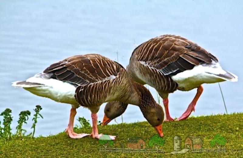 Фото двух гусей, которые пасутся на траве