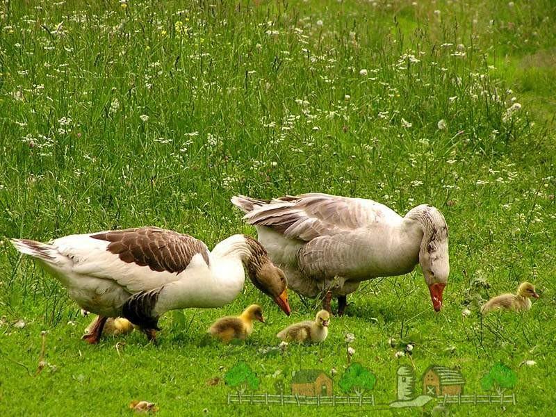 Птицы на пастбище фото