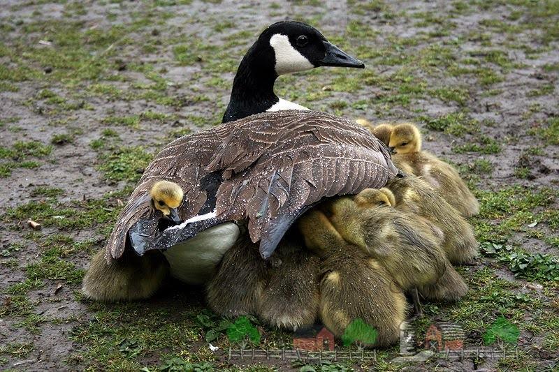Фото канадской казарки с гусятами