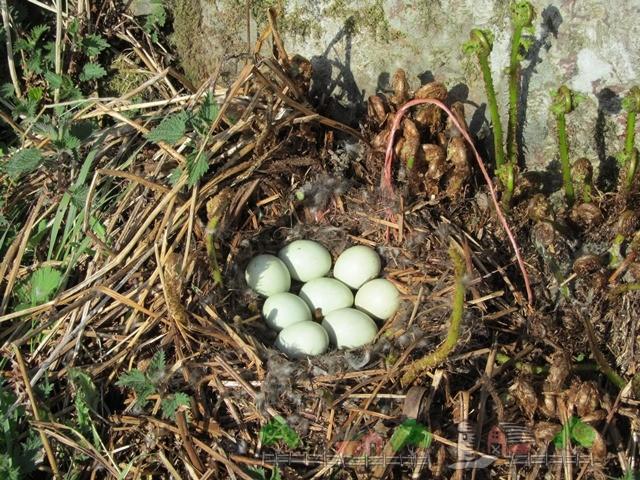 Фото гнезда с яйцами дикой утки
