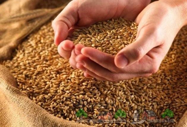 Пшеница для кормления кур фото