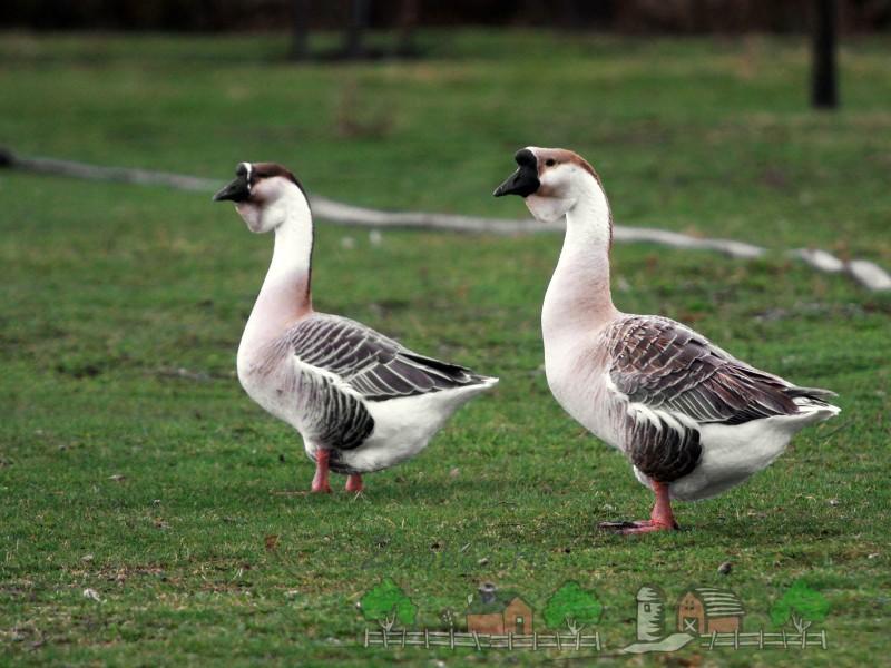 Красивые гуси с черными клювами фото