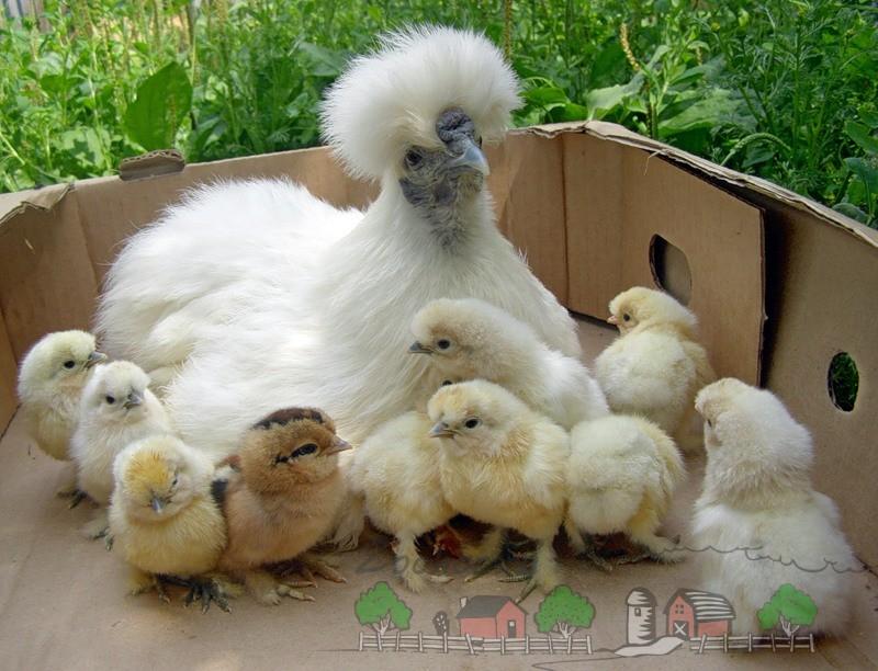 Курица с цыплятами в коробке фото