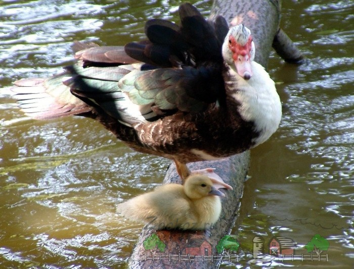 Фото мускусной утки с утенком на бревне