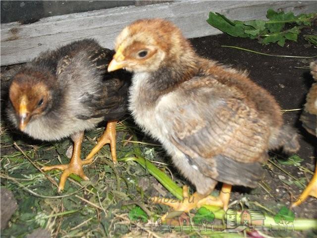 Недельные цыплята фото