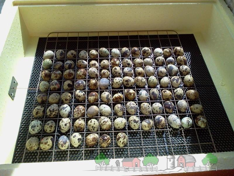 Перепелиные яйца в инкубаторе фото