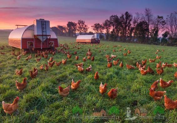 Куры на выгуле возле птицефермы фото