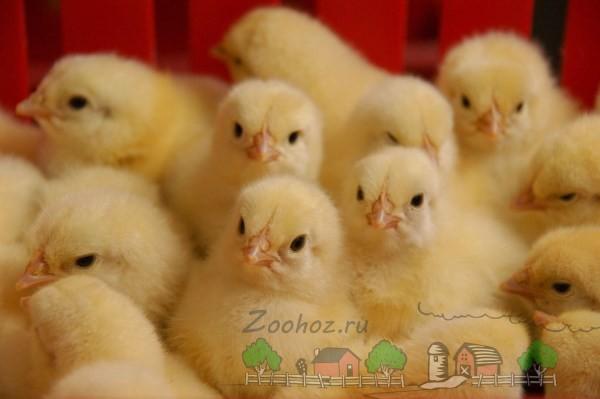 Маленькие цыплята фото