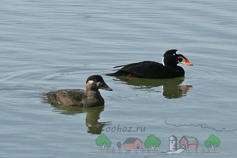 Фото самца и самки плавающих по воде