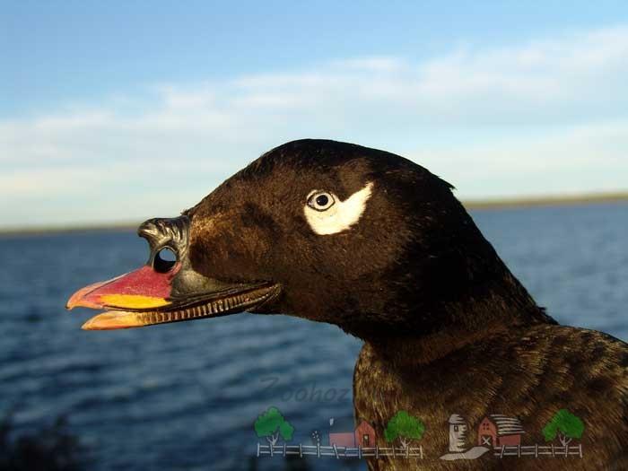 Описание породы утки Турпан: фото и видео обзор