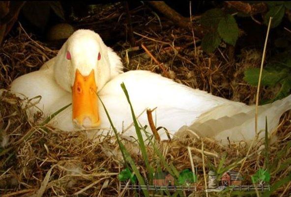 Фото домашней утки, которая сидит в гнезде
