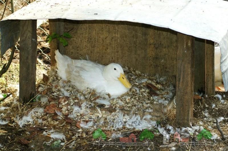 Фото утки, которая сидит в перьях под навесом