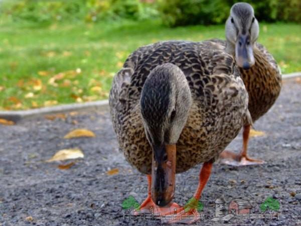 Фотография, как одна утка преследует вторую