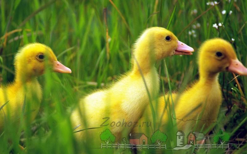 Обзор утки Селезень, его отличительные черты и фото
