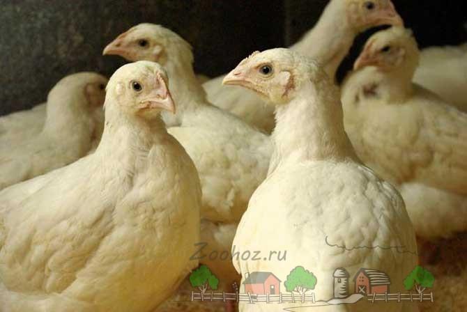 Цыплята бройлеры подросшие фото