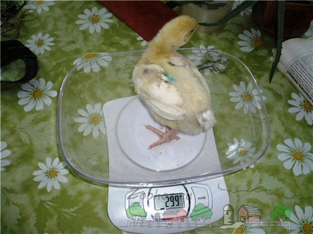 Цыпленок-бройлер на весах фото