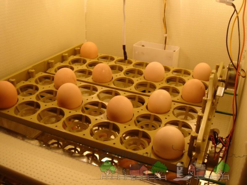 Яйца на автоматических лотках фото