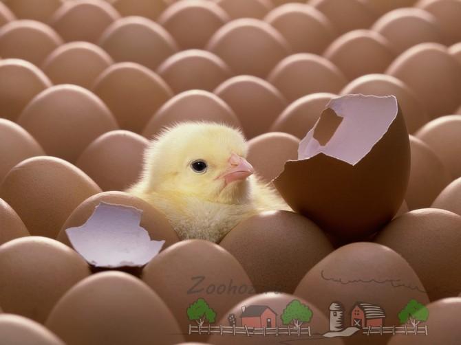 Цыпленок вылупился из яйца фото