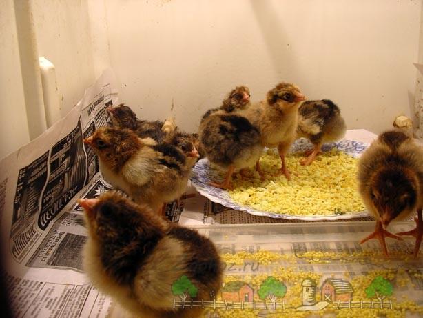 Цыплята кушают желток фото