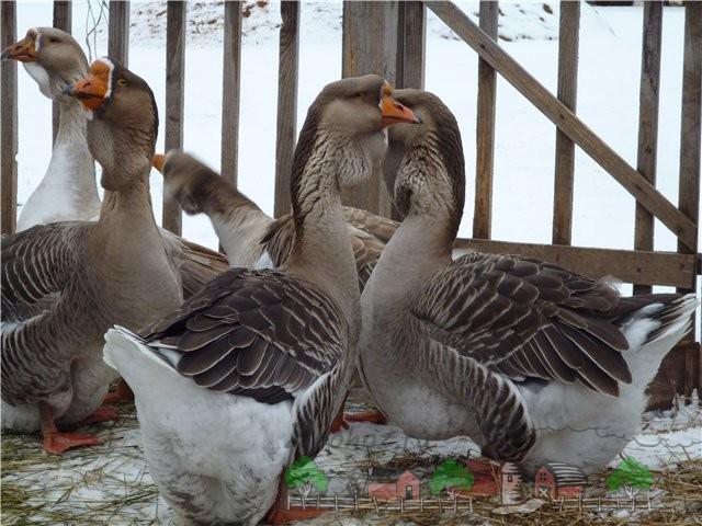 Фото гусей в загоне
