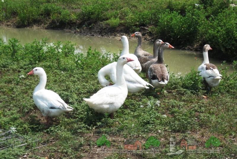 Фото гусей возле ручья