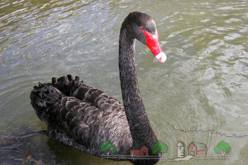 Фото черного лебедя