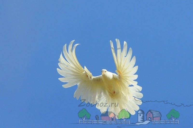 Фото голубя бабочки Прикамье