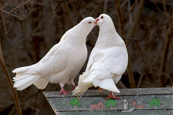 Фото голубя и голубки