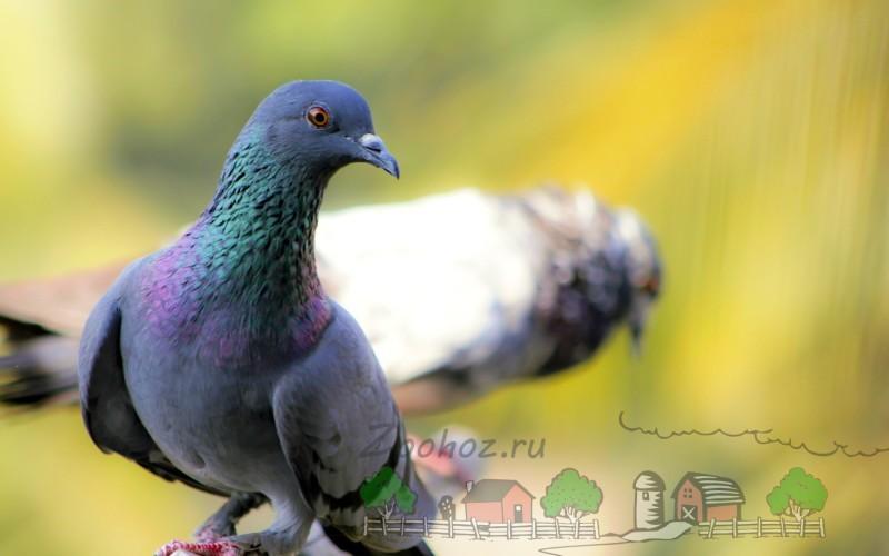 Фото голубки и голубя на заднем фоне