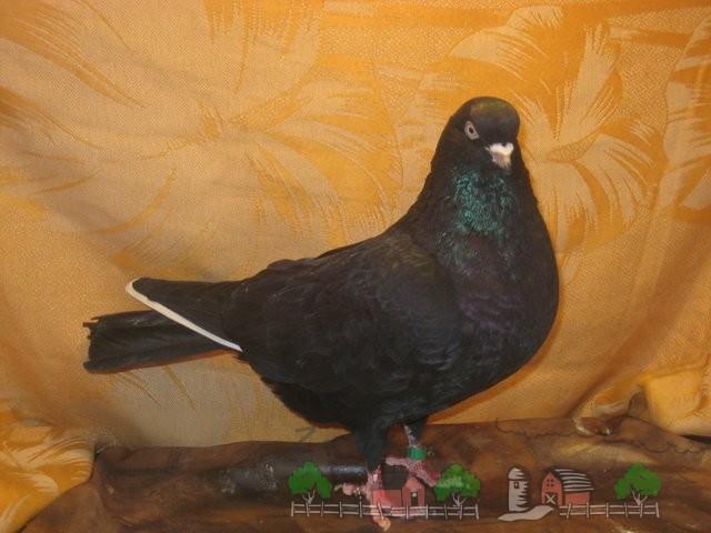 Фото голубя ижевского