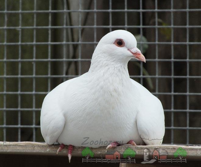 Фото голубя казанского