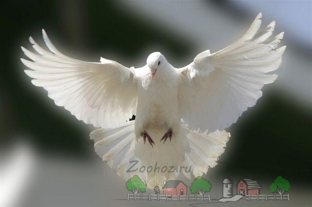 Фото голубя свердловского