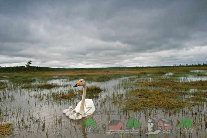 Фото лебедя-кликуна с птенцами