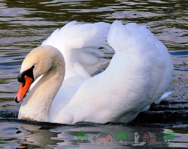 Фото лебедя-шипуна