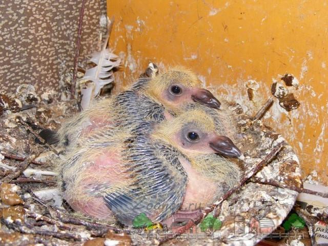 Фото пары птенцов голубей