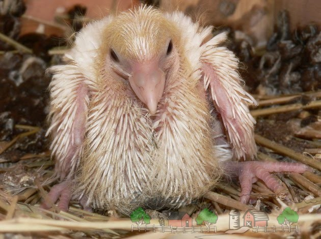 Фото птенчика голубя