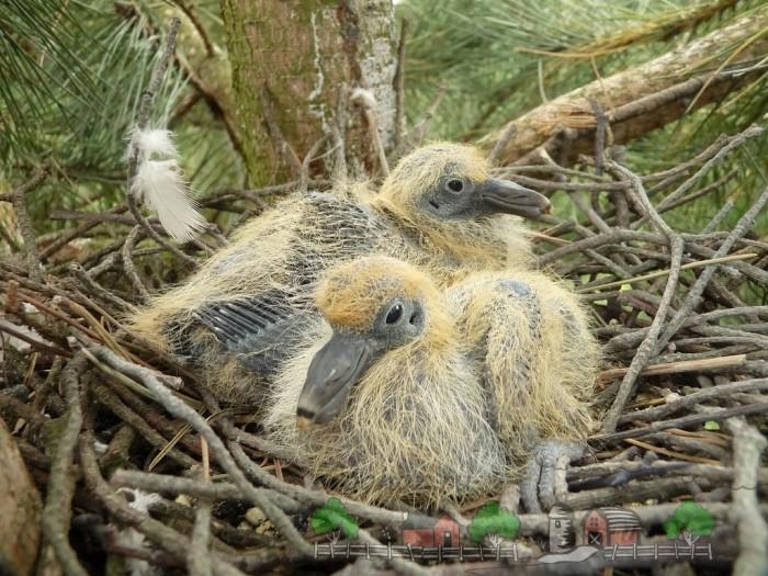 Фото птенцов голубей в гнезде
