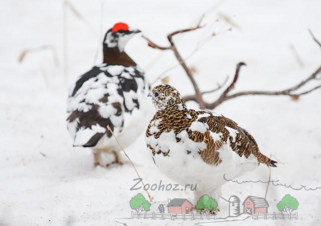 Фото самца и самки белой куропатки