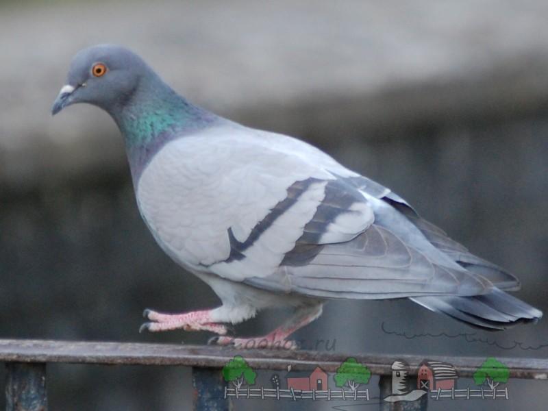 Фото сизого голубя на перилах