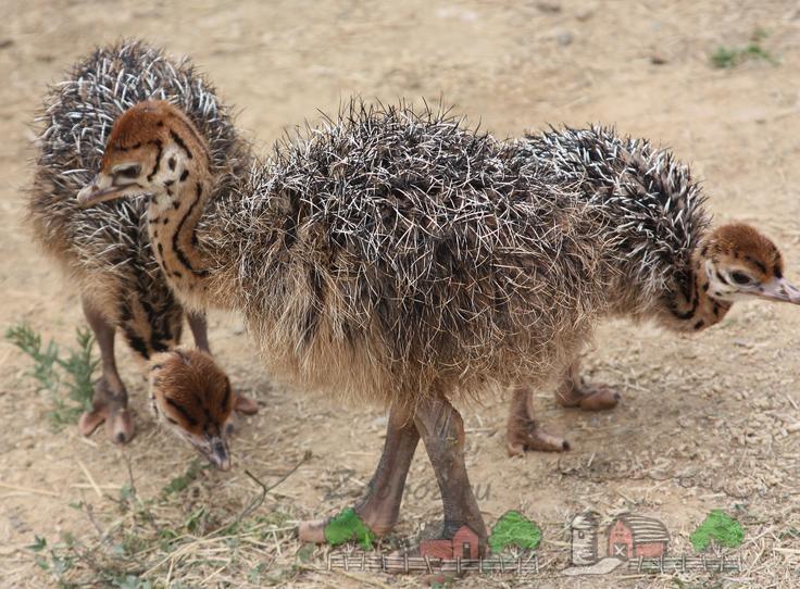 Фото страусенка африканского