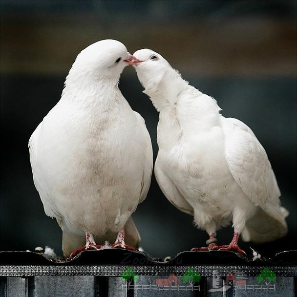 Фото целующихся голубей