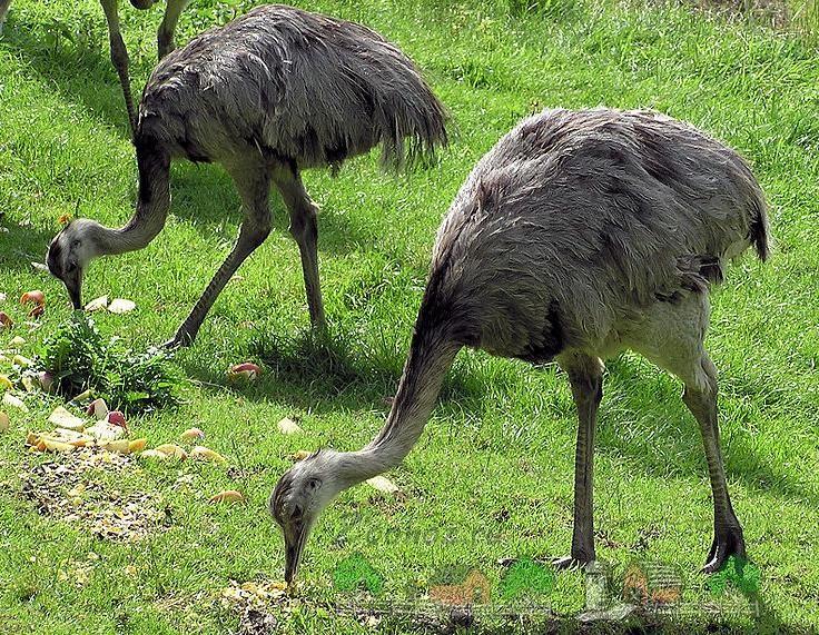 Фото американских страусов