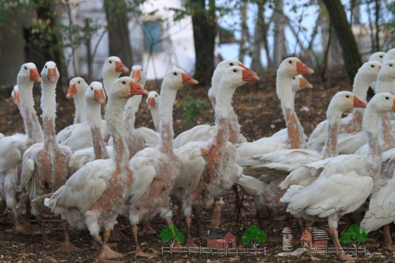 Фото стада ощипанных гусей