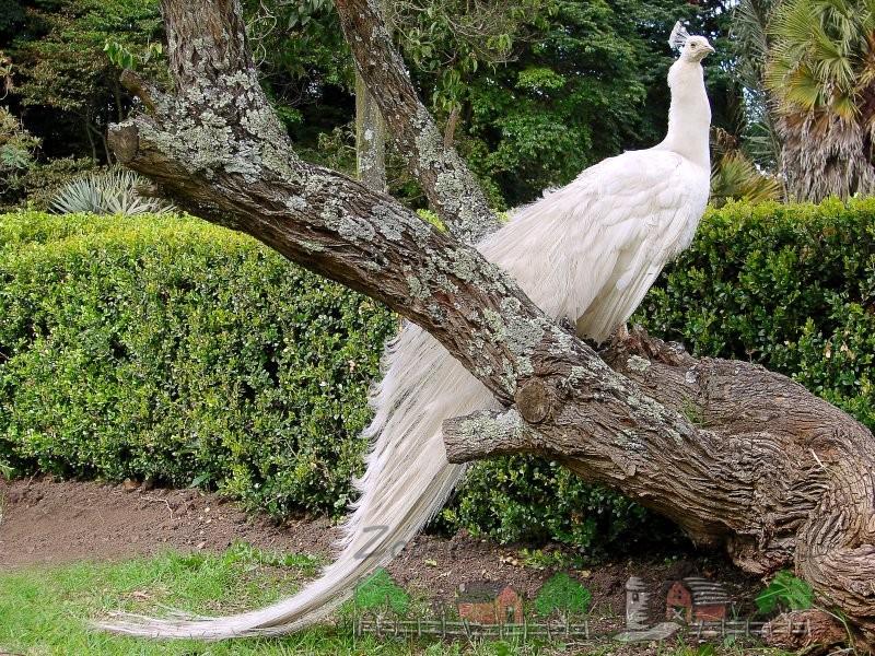 Фото белой райской птицы на дереве